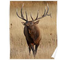 Elk Charging Poster