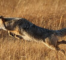 Coyote Action by William C. Gladish