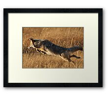 Coyote Action Framed Print
