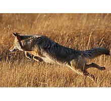 Coyote Action Photographic Print