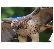 REDTAILED HAWK Poster