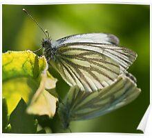 Butterlies making butterflies Poster