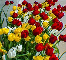 LADY TULIPS AT PLAY by pjm286