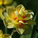 Daffodil #2 by Teresa Zieba