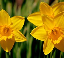 Two & a half daffs by Laurie Minor