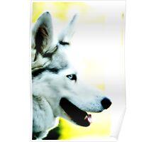 White husky blue eye Poster