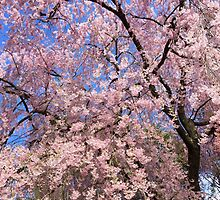 Cherry Blossoms of NJ by kingbeaufort