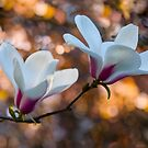 Blooming Magnolia by LudaNayvelt
