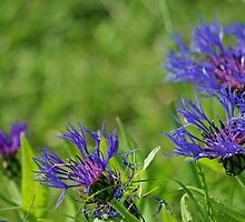 Cornflowers # 2 by Paola Svensson