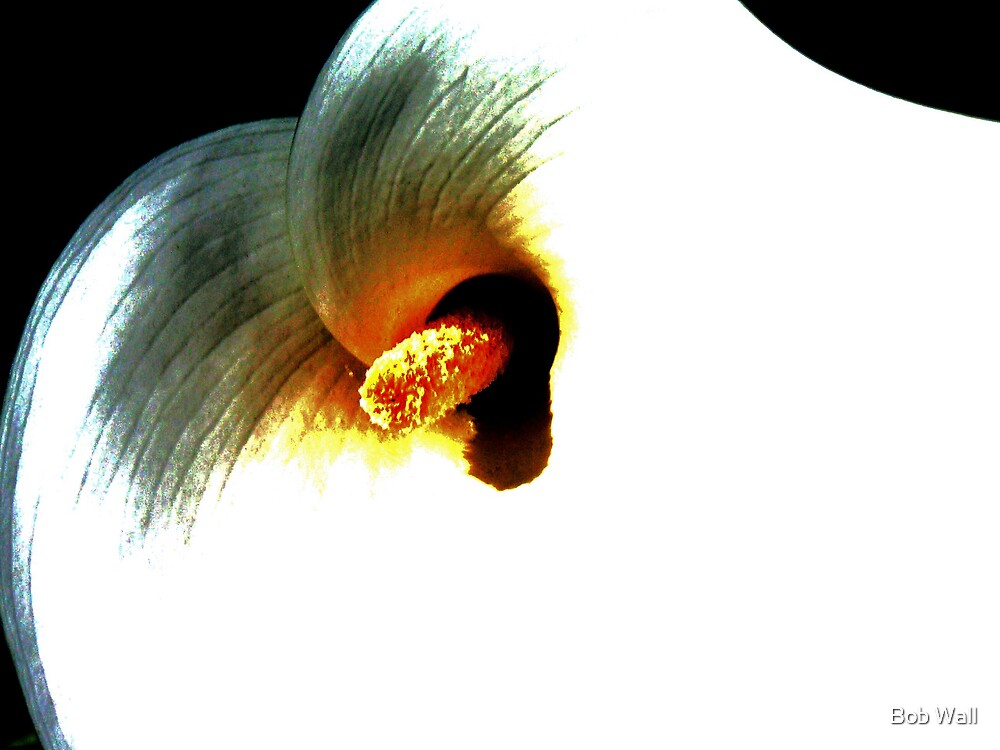 Contrasty Calla Lily by Bob Wall