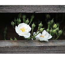 White little roses Photographic Print