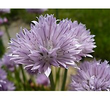 Chives in Bloom Photographic Print
