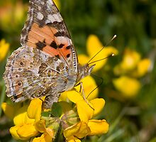 Painted Lady by Neil Bygrave (NATURELENS)
