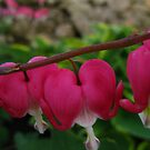 Branching like Bleeding Hearts by Atheum