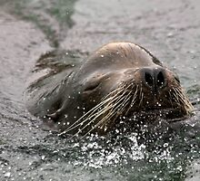 California Sea Lion by Jan  Wall