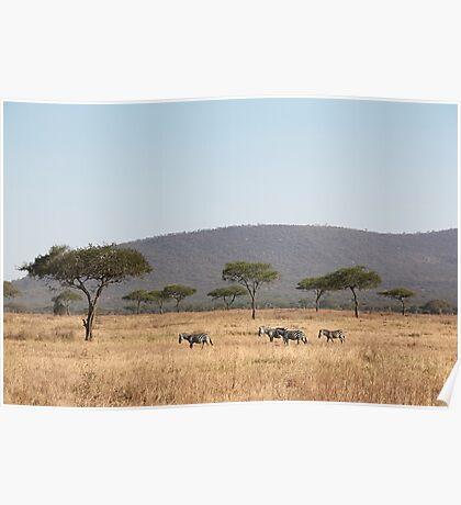 Plains Zebra, in the landscape, Serengeti National Park, Tanzania Poster