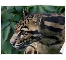 Adorable Clouded Leopard Poster