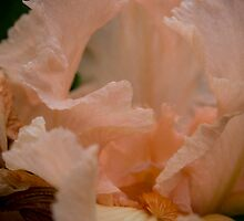 Pink Lace Iris by G. Patrick Colvin
