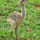 Baby Ostrich by Ginny York
