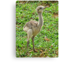 Baby Ostrich Canvas Print