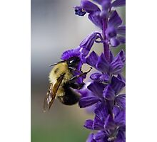 Bumble bee doing lunch Photographic Print