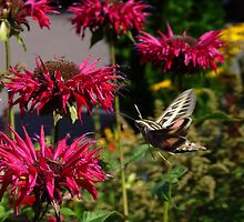 Moth & Monarda by Karen Karl