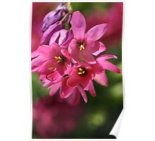 Pink Ixia Poster