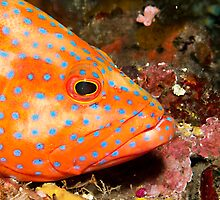 Coral Grouper (Close-up) by Marcel Botman