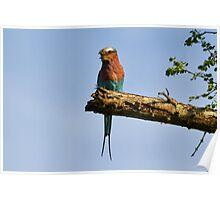 Lilac Breasted Roller (Coracias caudatus) Poster