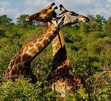Love is all around (Giraffa camelopardalis) by Deborah V Townsend
