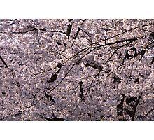 Sakura,cherry tree Photographic Print
