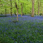 Bluebells Coxsetter's wood  Chiltern hills by Jim Hellier