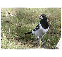 Australian - Pied Butcher Bird Poster