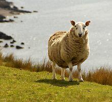 Scotland Sheep at the Beach by Sturmlechner