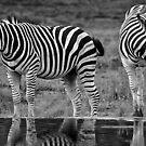 Zebra by Deborah V Townsend