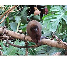 Red Titi Monkey Photographic Print