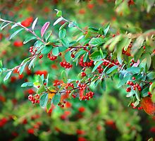 Autumn Berries by Anuja Manchanayake
