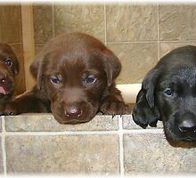 Labs in a box by tawaslake