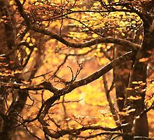 Fagus Forest by Garth Smith
