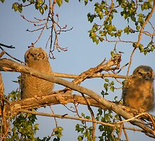 Sun Tanning Owlets  by Judy Grant