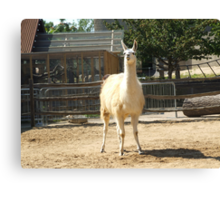 Silly Lama Canvas Print