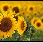 Sunflower Field, Kansas by ChrisBaker