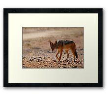 Black Back Jackal, Nambia Framed Print