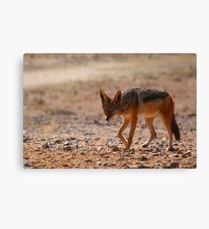 Black Back Jackal, Nambia Canvas Print