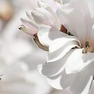 Magnolia...an ancient flower by Poete100