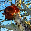 Polypore on a Rowantree by ienemien
