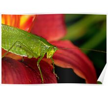 Katydid on a Day Lily Poster