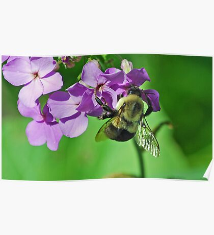 Phlox and the Bumble Bee Poster