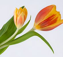 Tulips by AnnieD