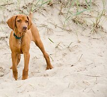 Adorbz Hungarian Vizsla by welovethedogs